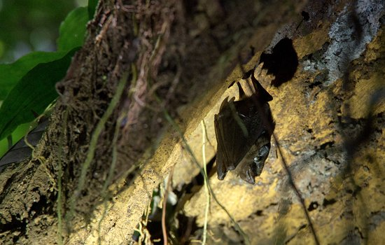 Amazonia Expeditions' Tahuayo Lodge: Bat
