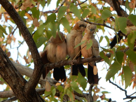 Khorixas, Namibia: Black-faced babblers