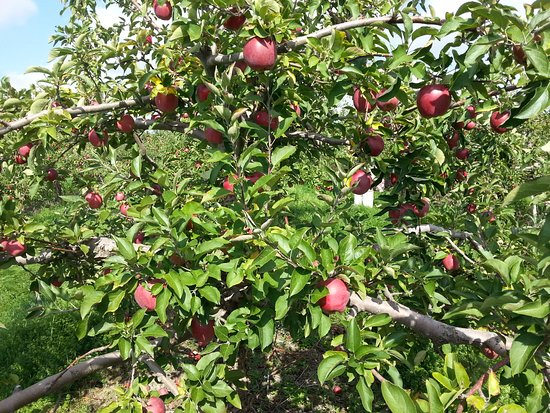 Bowmanville, Kanada: Abundance of very high-quality apples.
