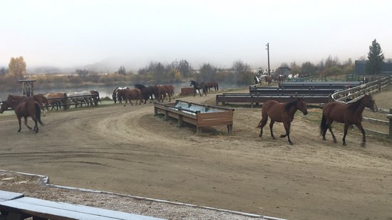 C Lazy U Ranch: Horses coming in from the pasture in the morning.