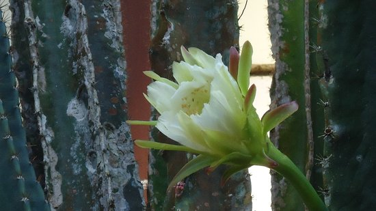 El Tucano Resort & Thermal Spa: Cactus flower by restaurant entrance