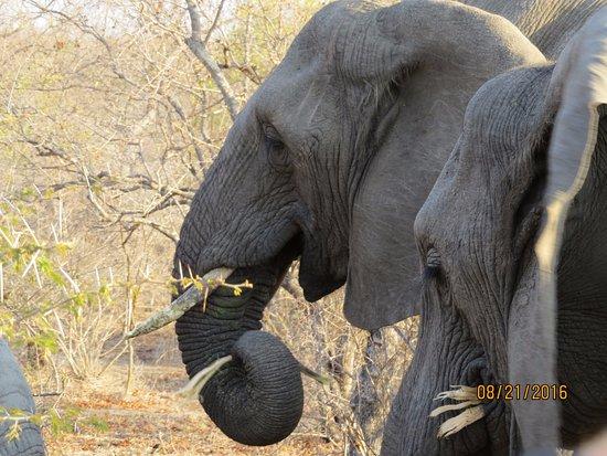 Thornbush Game Reserve: Elephants having breakfast