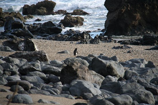 Lake Moeraki, Nowa Zelandia: Little penguin running from us.