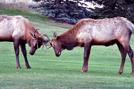 The Estes Park Resort: Elks fighting on the lakeshore