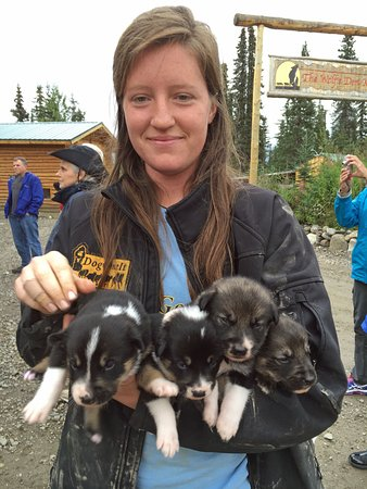 Cantwell, AK: Staff member greets arrivals with an arm load of puppies!