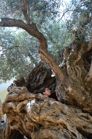 Vouves, กรีซ: Olive tree