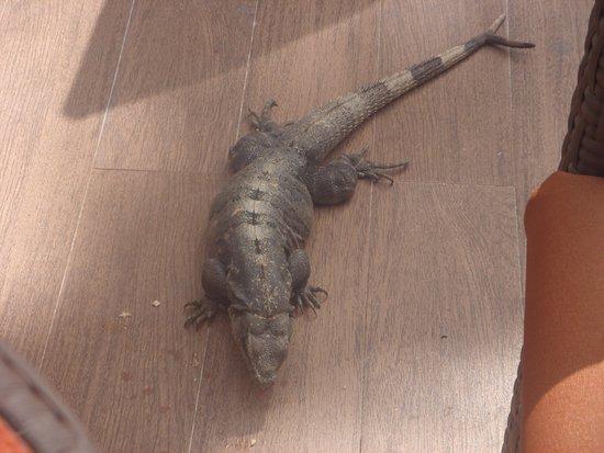 Hotel Barcelo Maya Beach: Iguana