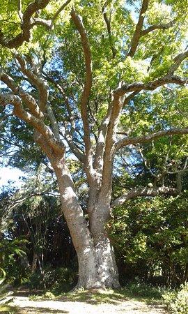 Claremont, Sudáfrica: majestic tree
