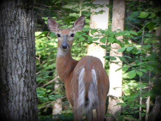 Buckhorn, Canada: Deer in the woods - Christine Brickman