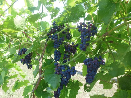 Alanson, MI: Grapes getting ready to pick
