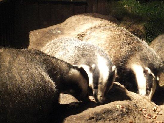 Aviemore, UK: Badgers