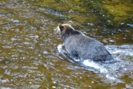 Wrangell, AK: A Brown Bear crossing the creek.