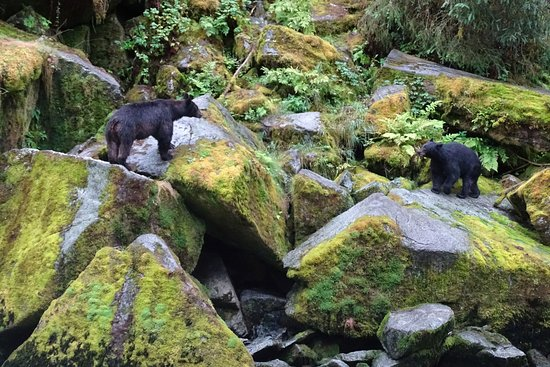 Wrangell, AK: Two black bears along the creek.
