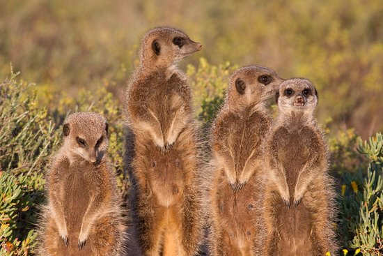 Meerkat Adventures: Meekats on the lookout for predators