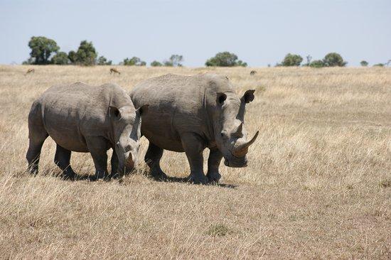 Porini Rhino Camp: White rhinos in Ol Pejeta Conservancy
