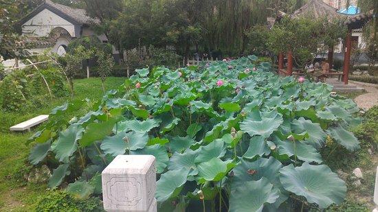 Jiaozhou, China: 荷葉與花
