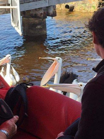 Albany, Australien: Feeding the Pelicans