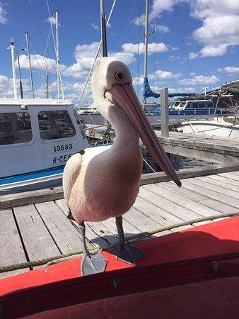 Albany, Australien: Perch the Pelican