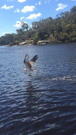 Albany, Australien: Feeding a wild Osprey