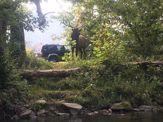 Whittier, Carolina del Norte: Bull Elk on the Raven Fork in Cherokee, NC