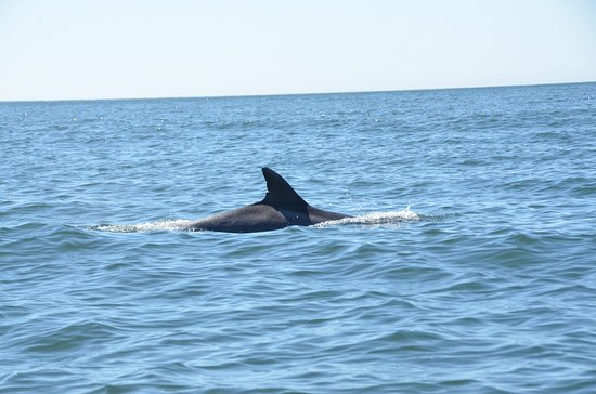 Seaweed Express: Dolphins swimming along side our boat...
