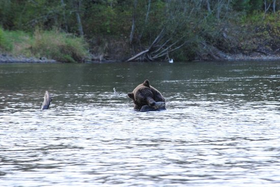 Grizzly bear with salmon near Bella Coola