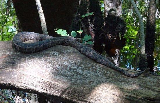 Harleyville, SC: Brown Water Snake