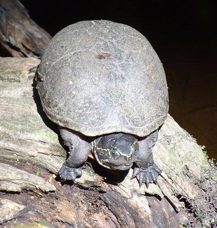 Harleyville, SC: turtle