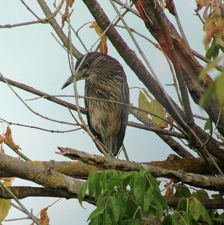 Capolona, Ιταλία: Juvenile Night heron on Fucecchio reserve