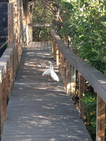 Tavernier, FL: Pelicans, hawks, owls and other hindered birds in this coastal wetlands sanctuary