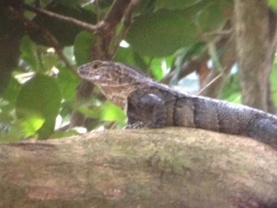 Manuel Antonio Expeditions: Iguana Negra
