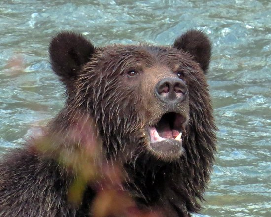 Campbell River, Kanada: Grizzly Bear