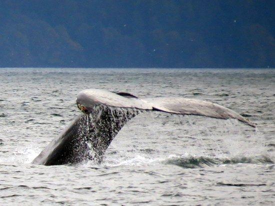 Campbell River, Kanada: Humpback Whale