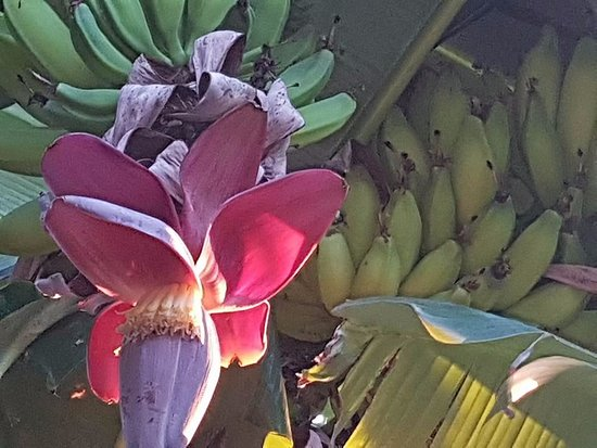 Bumi Linggah The Pratama Villas: banana flower