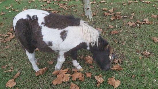 Elizabethtown, Carolina del Norte: The free-roaming Shetland pony