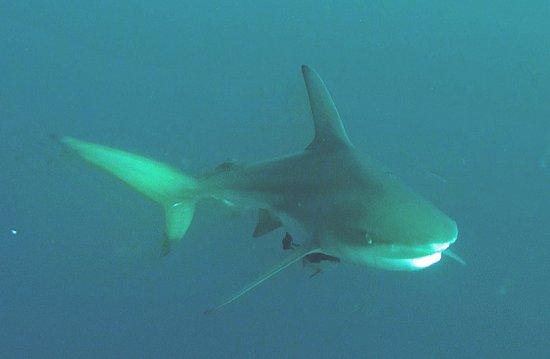 Protea Shark Divers: Atemberaubend einen Hai im Freitauchgang auf sich zuschwimmen zu sehen.