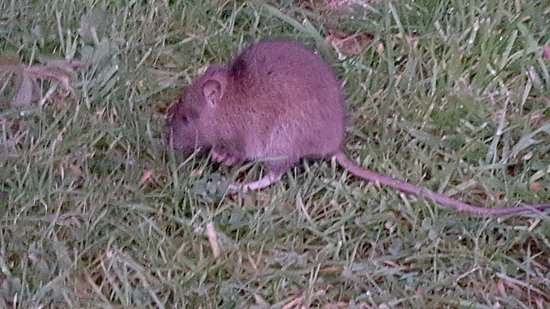 Alsop en le Dale, UK: Kangaroo mouse - look at the long back legs