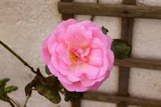 Invernairne Hotel: Invernairne rose