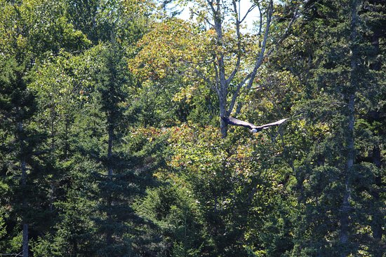Acadian Nature Cruises: Eagle Coming for Food