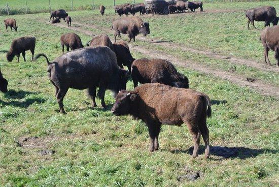 Champlain, Canada: Bisontes en la granja