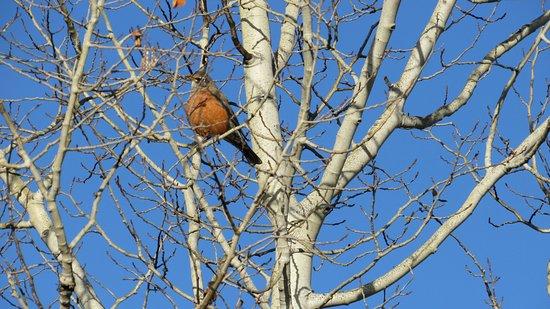 Wilson, WY: Robin in Aspen