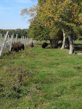 Montague, Canadá: Buffalo at the buffaloland provincial park - October 2016