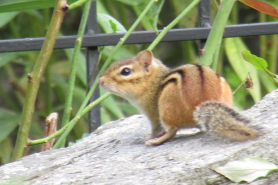 West Stockbridge, MA: a real chipmunk!