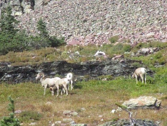 Hidden Lake: Big Horn Sheep