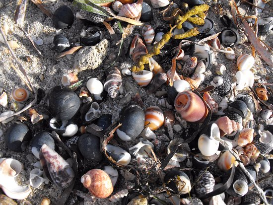 Normanville, Australia: Shells everywhere for the kids
