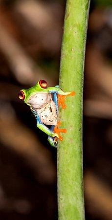 Puerto Viejo de Sarapiqui, Costa Rica: The Frog Prince
