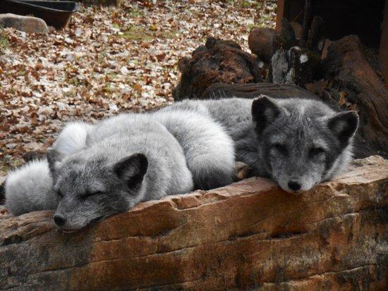 Gramat, فرنسا: renards polaires trop mimi