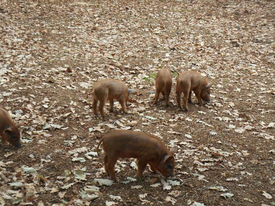 Gramat, Frankreich: les petits cochons laineux !!! trop chou eux aussi