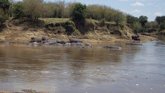 Enchoro Wildlife Camp: hippos in the Mara river