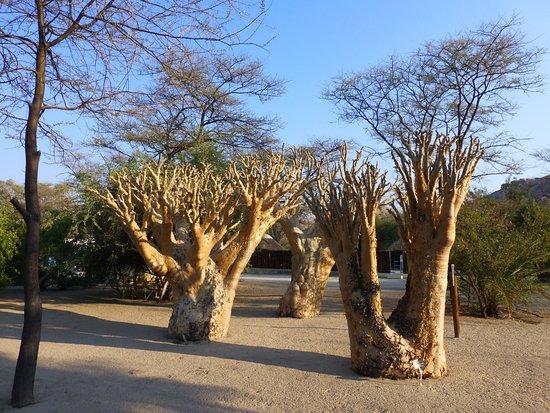 Usakos, Namibia: Butterbäume auf dem Gelände